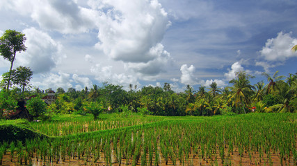 Rice field near the town of Ubud on Bali