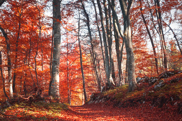 Lovely mysterious red and orange color autumn season forest path covered with leaves. Color filter effect used.