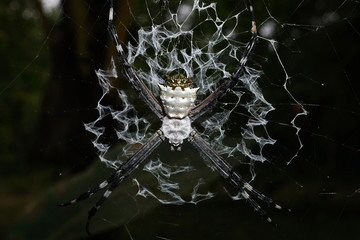Close-up of silver argiope spider on its web