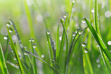 Wall Mural - Fresh green grass with dew drops closeup. Nature Background