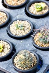 Vareity of small cactus.