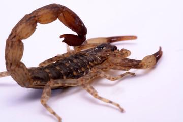 Close up Scorpion a white background.