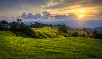 Golden rice of rice terraces. Mae Chaem District, Chiang Mai Province