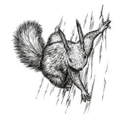 engrave squirrel illustration
