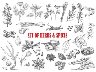 Fototapeta Set of Herbs and spices in sketch style obraz