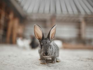 Fluffy gray rabbit