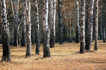Autumn birch forest landscape