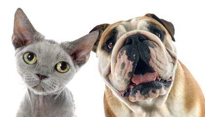 Wall Mural - english bulldog and devon rex
