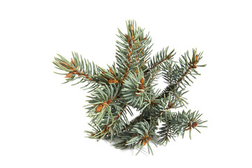 The branch of blue spruce..