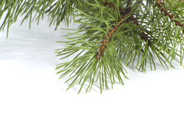 Scots pine branch closeup..