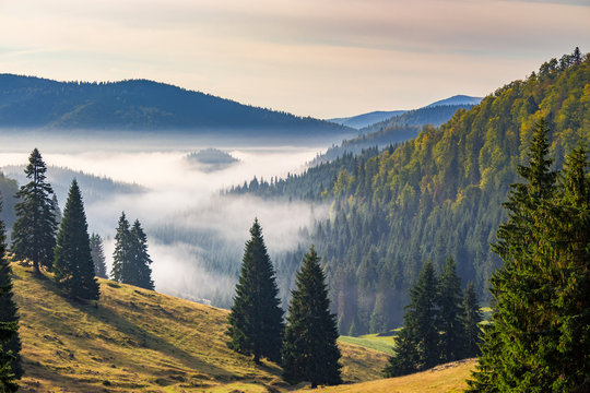 hillside with coniferous forest among the fog on a meadow in mountains of Romania in morning light