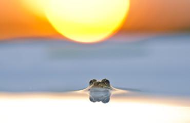 Frosch bei Sonnenuntergang