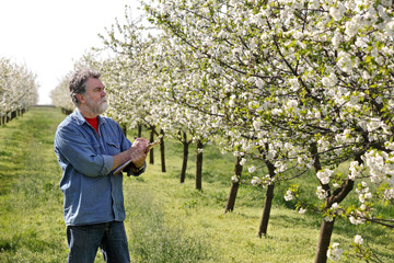 Farmer or agronomist in cherry orchard