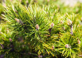 Closeup of the pine buds and needles