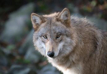 Grauer Wolf Portrait 3