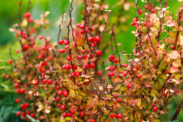 Wall Mural - Barberry berries on bush in autumn season, shallow focus
