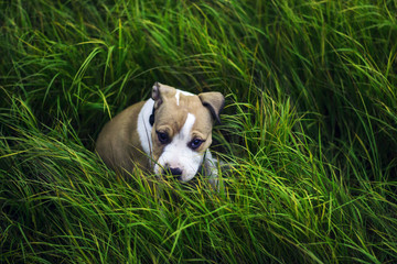 an american staffordshire terrier sitting and looking in a green grass