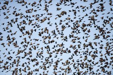 Red-winged Blackbird Flock in Flight In a Blue Sky