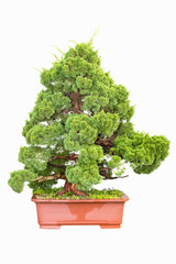 bonsai tree of cypress