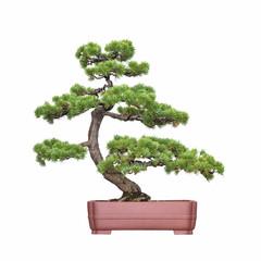 Keuken foto achterwand Bonsai bonsai tree of pine