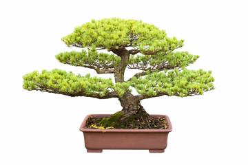 bonsai tree of five needle pine