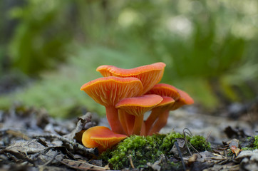 Hygrocybe Coccinea - Scarlet Waxcap Colorful Orange Mushrooms Growing on Moss