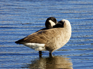 Interesting pose of a Canada goose