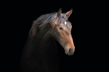 Wall Mural - Portrait of beautiful bay horse on the black background