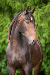 Portrait of beautiful bay horse in summer