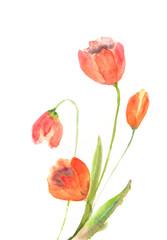 Beautiful tulip flowers, watercolor illustrator