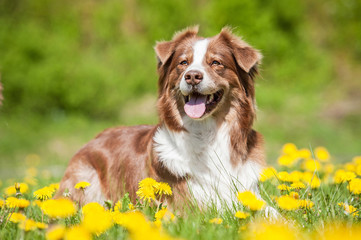 Australian shepherd dog lying on the lawn with dandelions