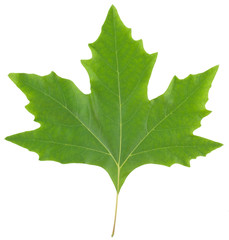 Green maple leaf isolated on white background