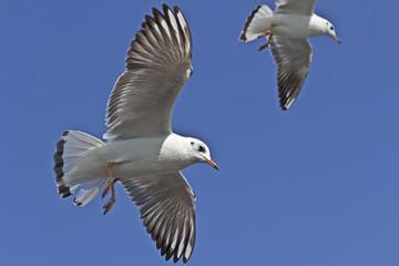 Indian seagulls