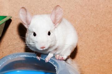 Little white chinchilla