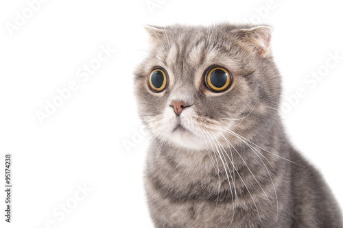 Wall mural Portrait of a surprised cat breed Scottish Fold..