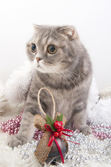 Wall Mural - Scottish Fold cat breed with Christmas toys..