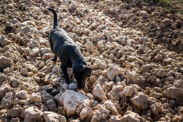 Black Labrador dog on plowed field sniffing