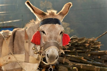 A donkey with red tassels waiting to be loaded with wood