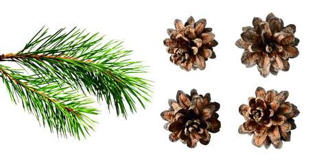 Pine twig and cones
