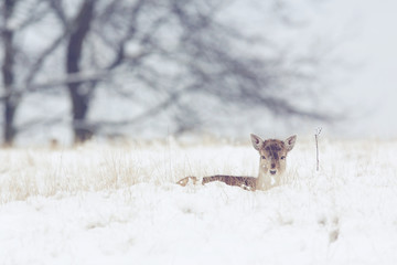 Wall Mural - A little fallow deer doe lying in the cold winter snow