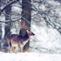 Wall Mural - A fallow deer buck in the winter snow