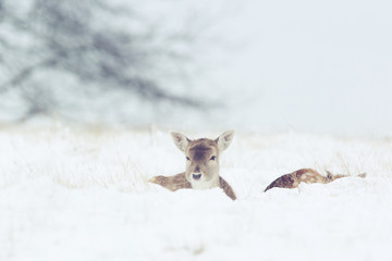 Wall Mural - A pair of fallow deer in the winter snow
