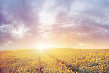 Beautiful sunset over the canola field