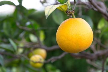 Orange Frucht am Baum