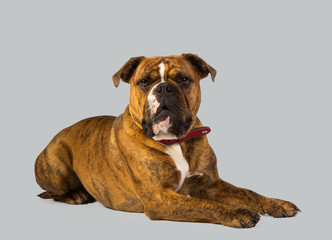 dog boxer studio portrait