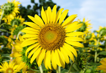 blooming sunflower background