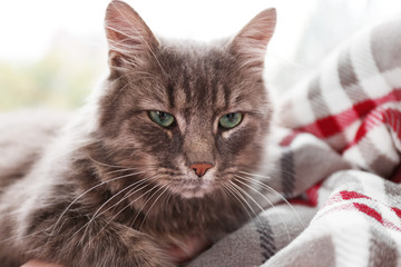 Beautiful grey cat lying on blanket near window, close up