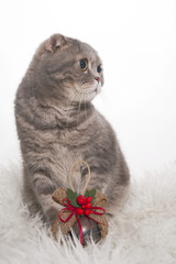 Wall Mural - Scottish Fold cat breed with Christmas toys on a fluffy rug..