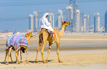 Dubai, camel racing in training in the outskirts of the city