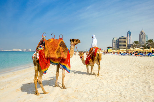 Dubai, camels on the  beach of the Oasis resort in the new Marina quarter